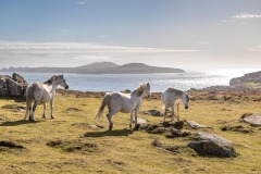 Wild Welsh ponies, St David's Head, Pembrokeshire