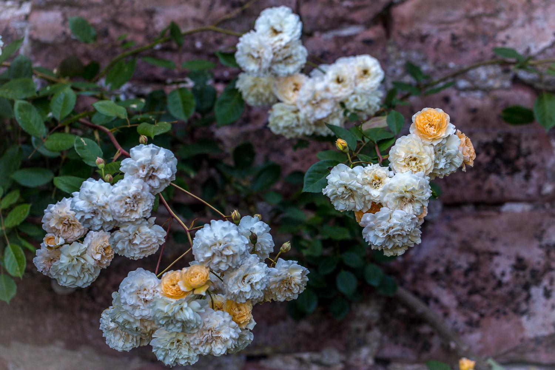 Roses at Acorn Bank