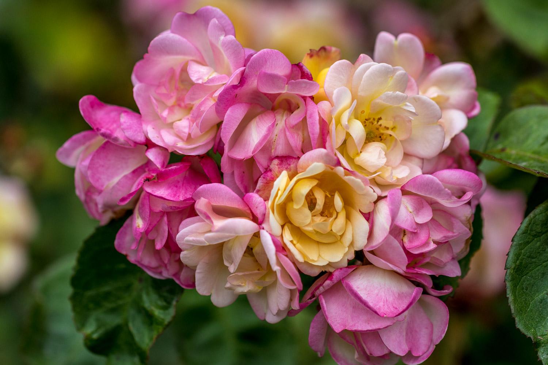 Roses at Alnwick