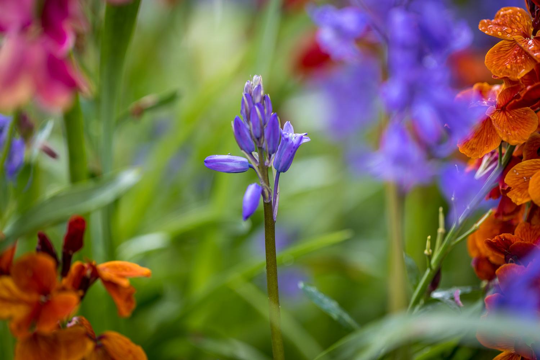 Bluebell, wallflowers