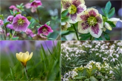 Hellebore, crocus, primrose and snowdrop