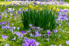 Daffodils  and crocus