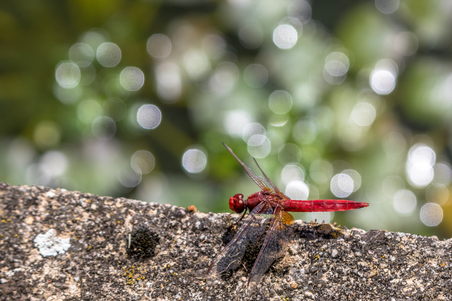 Scarlet Dragonfly, Lake Guichard