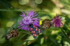 Six Spot Burnet moth, French Alps