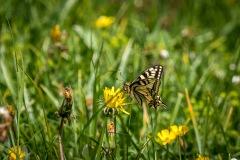 Swallowtail, Swiss Alps