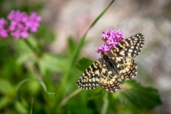 Spanish Festoon butterfly, Andalucia