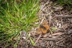 Marsh Fritillary, Lorton Vale
