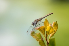 Dragonfly, Les Prés de Ménetreuil