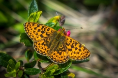 Fritillary, Swiss Alps