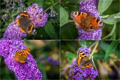 Butterflies on buddleia at Raby Castle