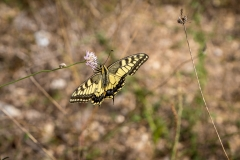 Swallowtail, South of France