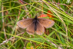 Mountain Ringlet butterfly
