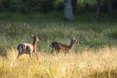 Fallow Deer, Beaulieu