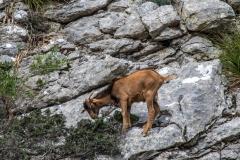 Wild goat, Biniaraix Gorge, Mallorc
