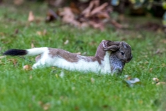Stoat catching rabbit in the garden