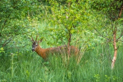 Roe deer at dawn by Buttermere