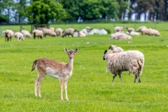Lone fallow deer grazing with a flock of sheep