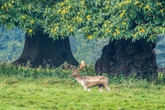 Fallow Deer at Studley Royal