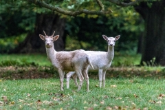 White Fallow Deer at Houghton Hall