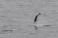 Leaping Dolphin, La Gomera