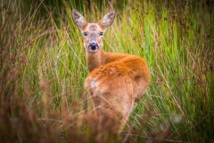 Roe Deer, Lymington-Keyhaven Nature Reserve