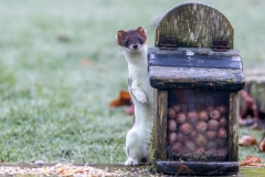Stoat in the garden