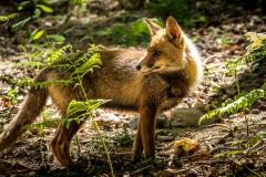 Fox, Piedrafita