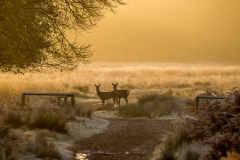 red deer, Richmond Park