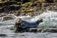 Seals in Northumberland