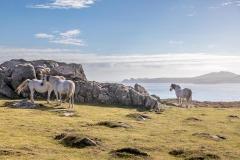 St David's Head wild horses, Pembrokeshire