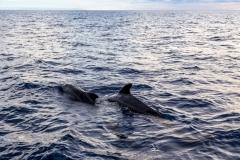 Pilot Whales, La Palma