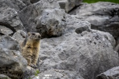 Marmot, Swiss Alps