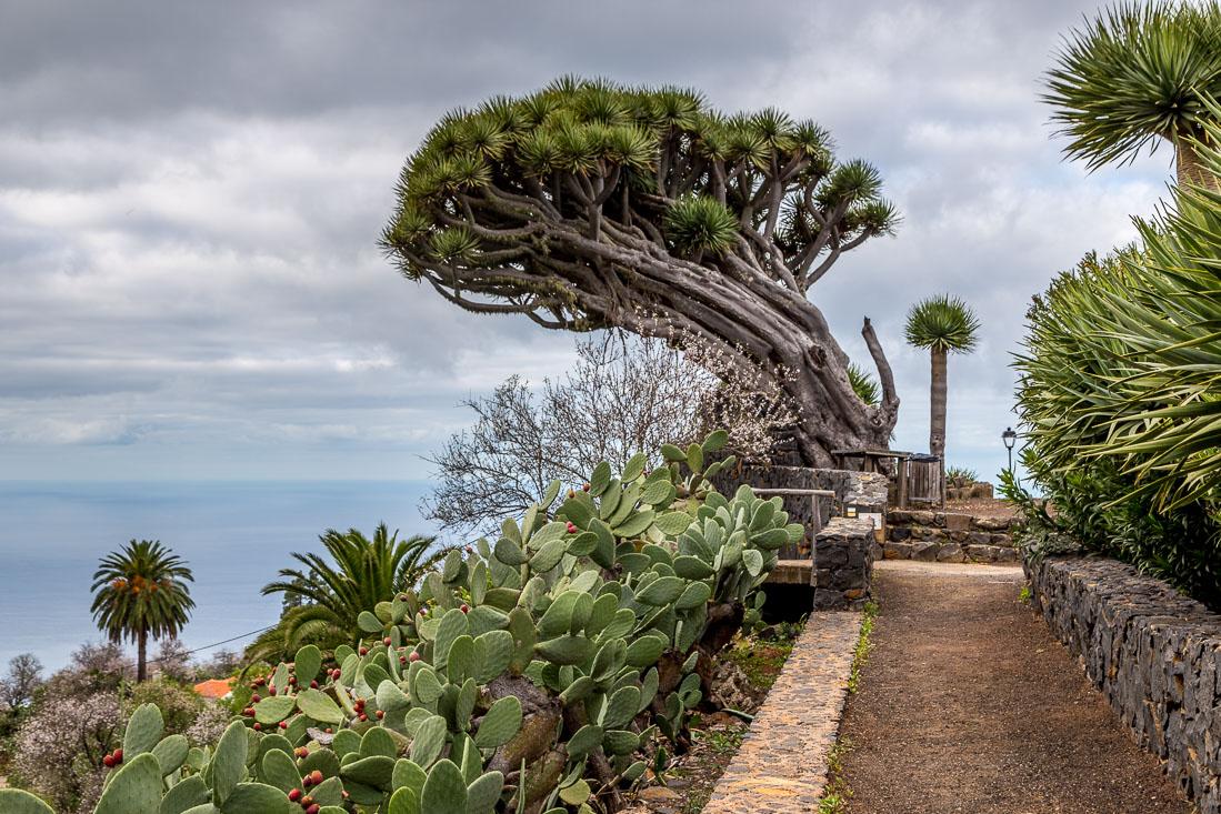 Drago tree, Tenerife