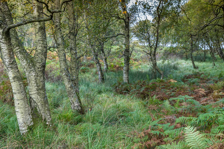 Derwent Water birches