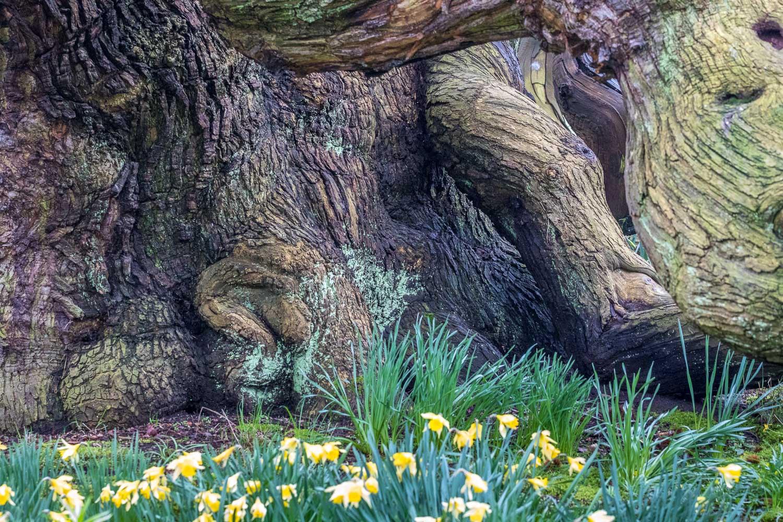 Sweet chestnut at Doddington Hall