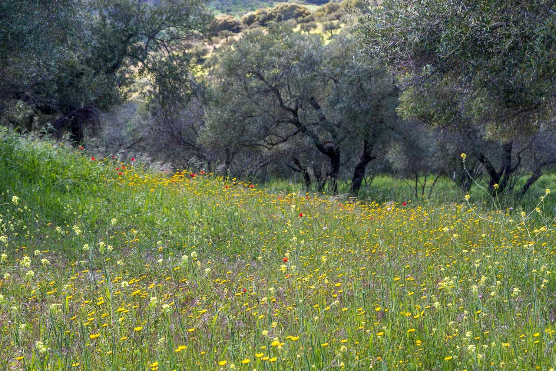 Olive grove, Andalucia
