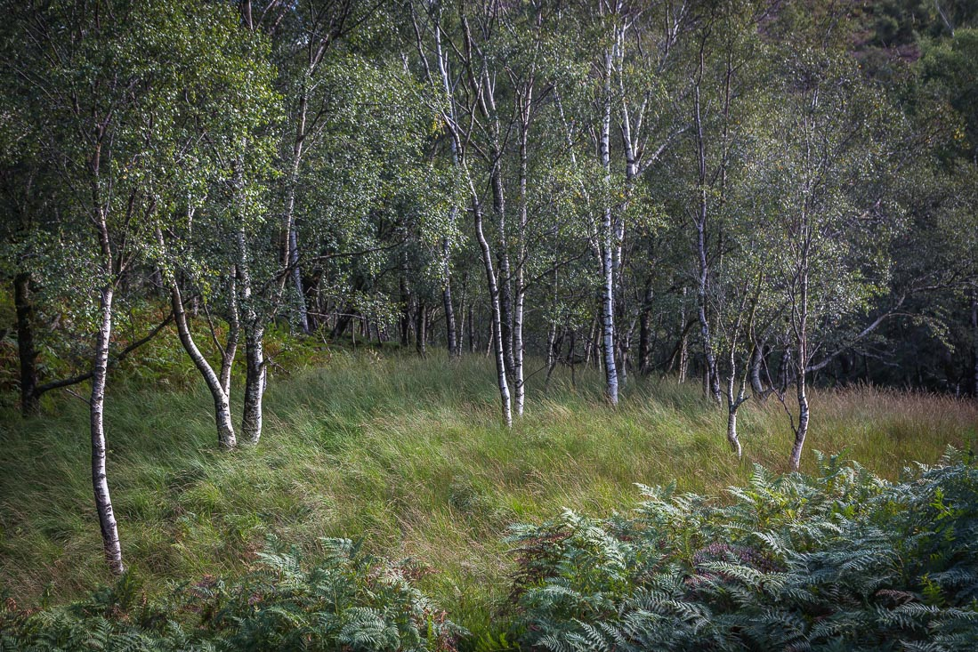 Silver Birch, Grange Fell