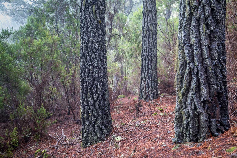 Pine trees, Orotava Valley, Tenerife