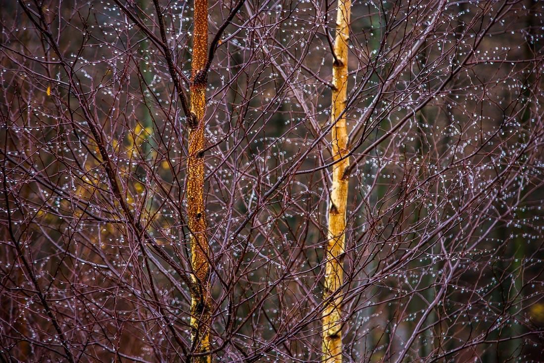 Birch on Latrigg