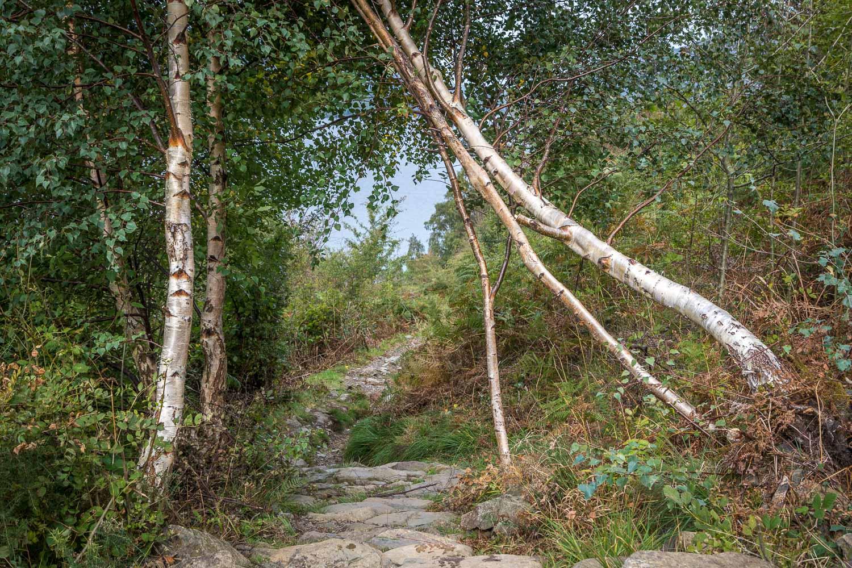 Silver birch in Great Wood