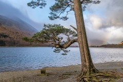 Pine tree, Hassness, Buttermere