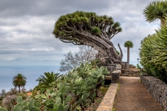 Drago tree, Tenerife