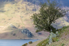 Holly tree, Crummock Water