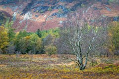 Birch tree in Manesty, Borrowdale