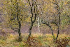Borrowdale birches, Manesty