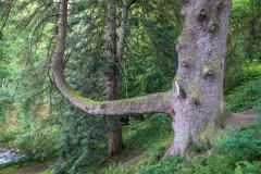 Aira Force arboretum, sitka spruce