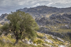 Olive tree, Mortitx, Mallorca