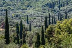 Cypress trees, Corfu