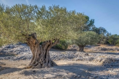 olive trees near the Pont du Gard, France