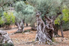 Olive trees near Soller, Mallorca
